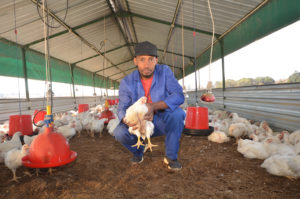 Chicken farmer in chicken shed